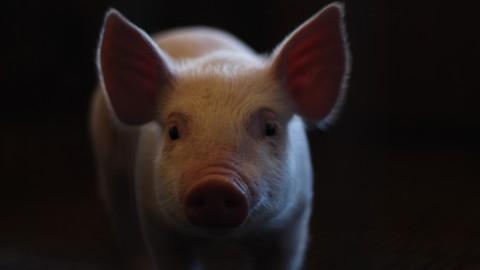 Ode aan het varken staat in Grote Waal in Hoorn