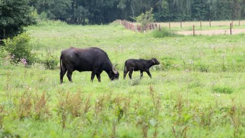 Eerste waterbuffels geboren in Waterlandtak-West (Diemerscheg) Muiden